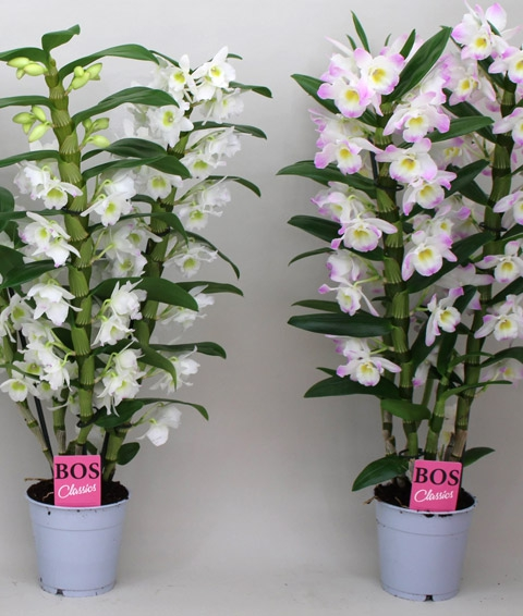 Dendrobium Orchidee