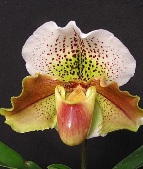 Paphiopedilum Orchideen