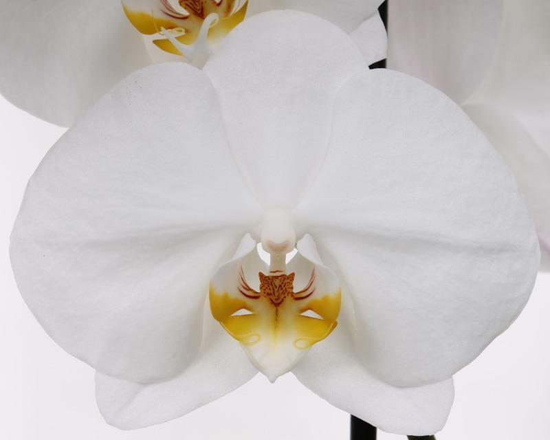 Phalaenopsis Cambridge flower