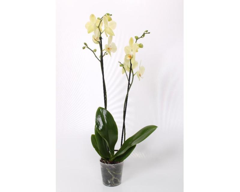 Phalaenopsis Candela