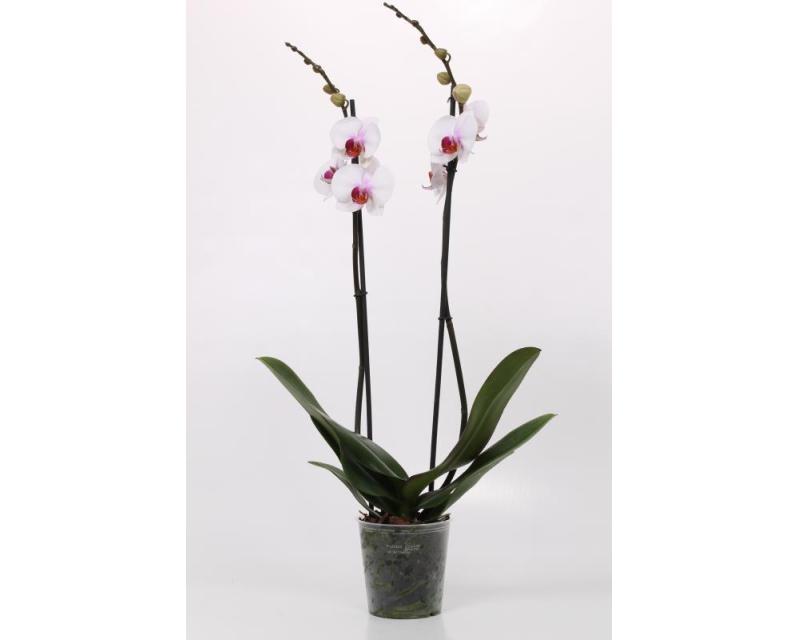 Phalaenopsis Castor