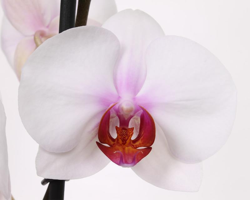 Phalaenopsis Castor, flower