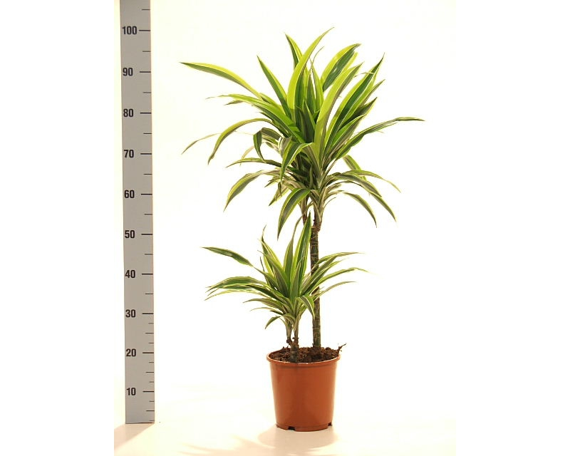Dracaena lemon lime 45/15