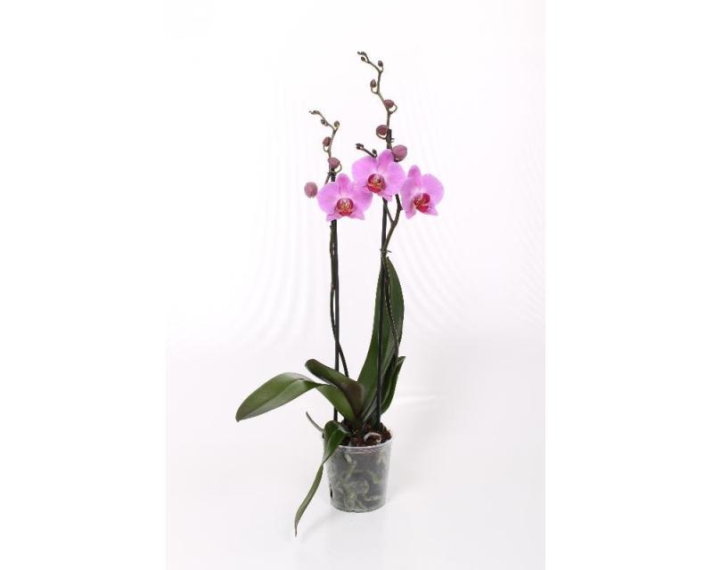 Phalaenopsis Kendall