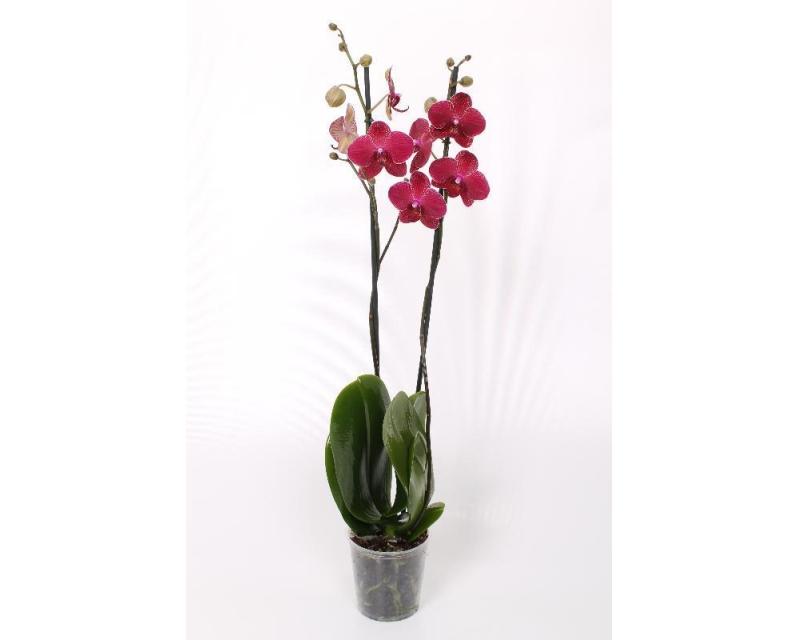 Phalaenopsis Kimono