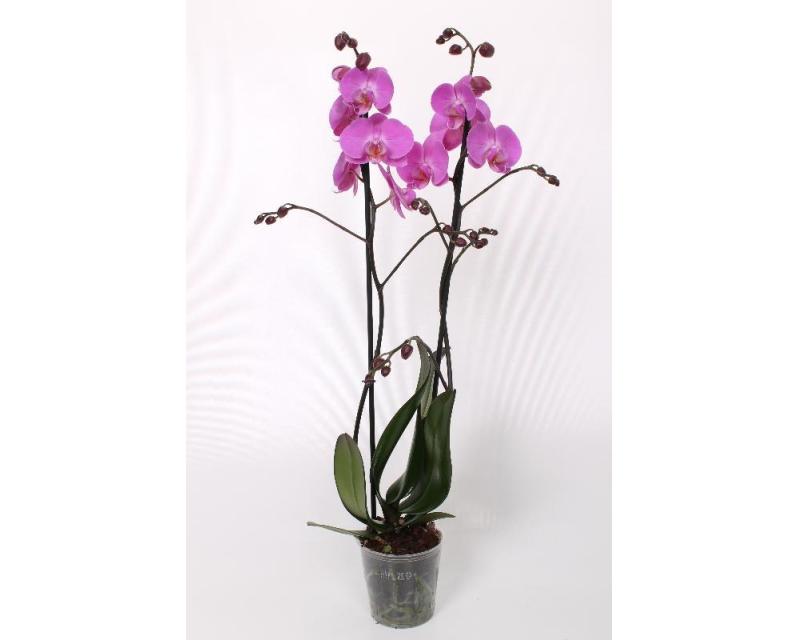 Phalaenopsis Las Palmas
