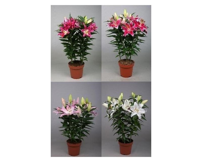 Lilium Orientalis mix
