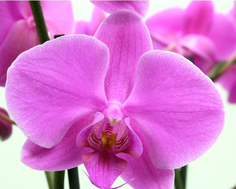 Phalaenopsis Pasadena