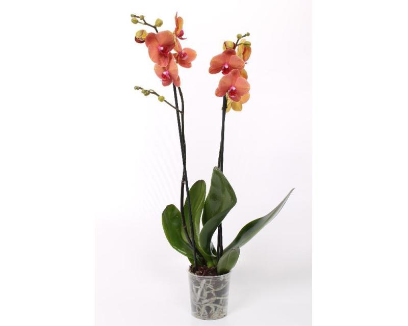 Phalaenopsis Surfsong