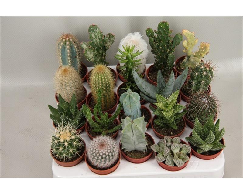Cactus mix 5,5 cm