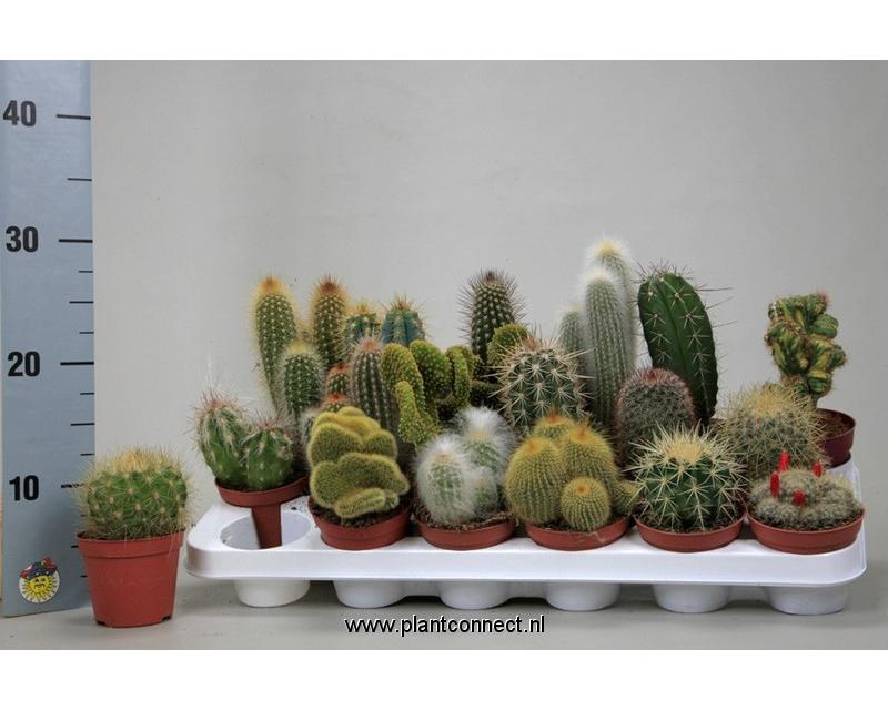 Cactus mix 8,5 cm