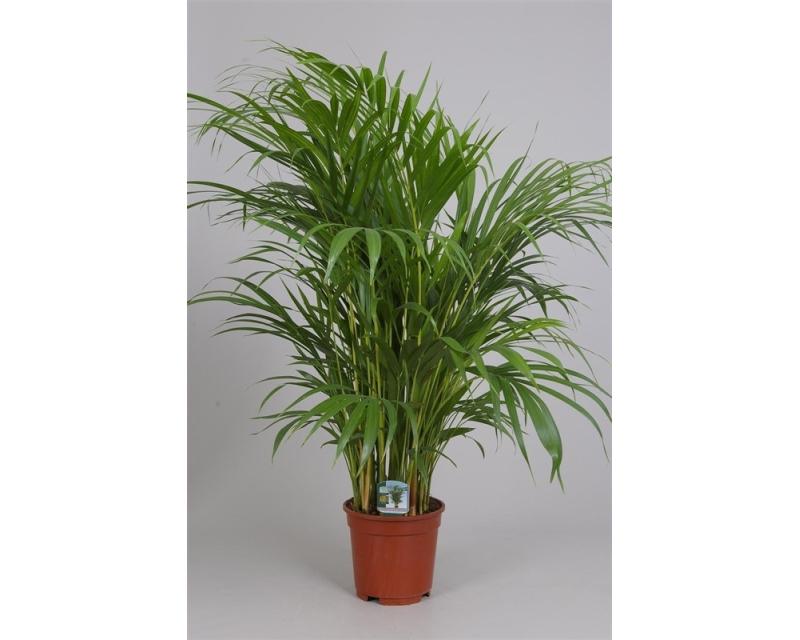 Chrysalidocarpus lutescens 17 cm