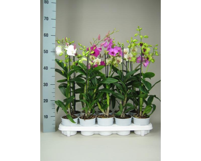 Dendrobium mix