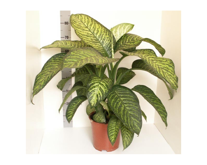 Dieffenbachia Tropic Jungle