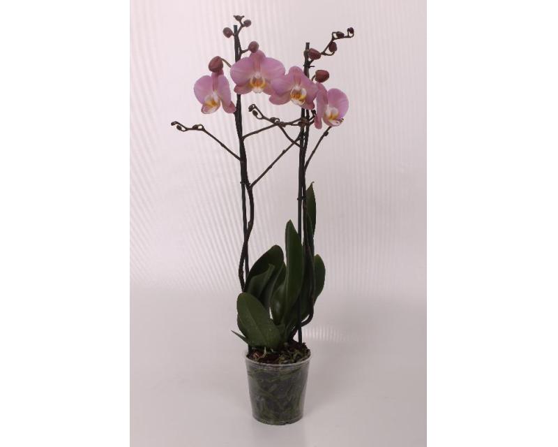 Phalaenopsis Padova