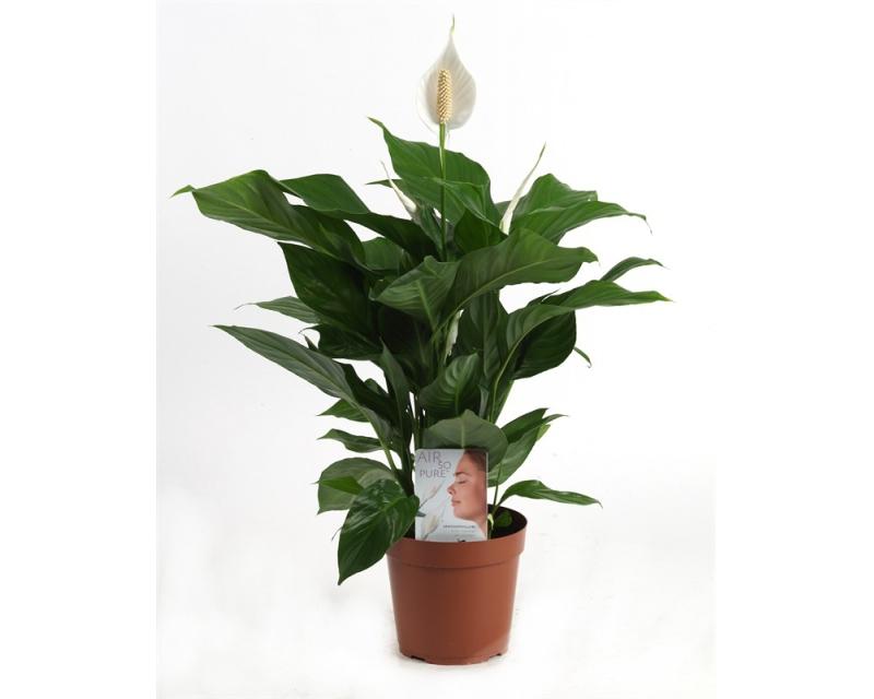 Spatiphyllum Sweet Sylvio